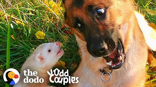 Watch This Dog And Ferret Become Best Friends | The Dodo Odd Couples