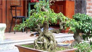 Theo chân Thực lão đại đi mua cây, mua hẳn cây đẹp nhất vườn
