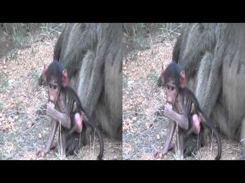 Baboon Baby in 3D
