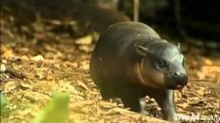 Rare White Wombat, Baby Koala, Baby Pygmy Hippo