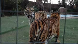Catnip , This is what happens if cats and tigers use it together !