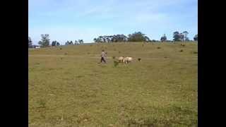 Treinamento Border Collie Fly - Canil Jucka Pitanga