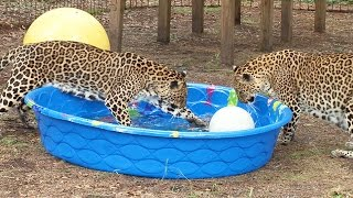 Do Big Cats Like Water?