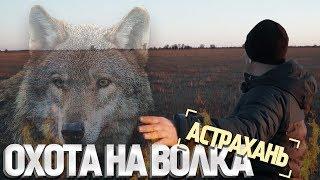 Охота на волка в Астрахани