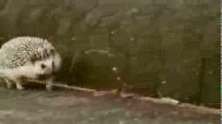 ひたすら走るハリネズミ