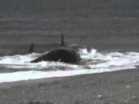 orca eats boy - YouTube