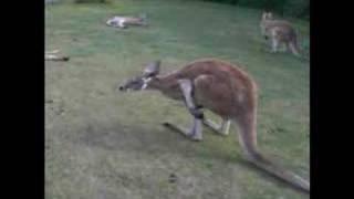 走るカンガルー