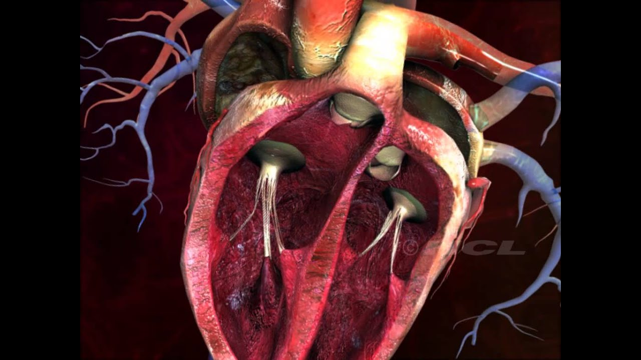 HCL Learning DigiSchool - Structure of the Human Heart ...