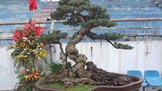 Ghi giá tiền bằng đô la ở gốc cây, linh sam đẹp quá - Price of bonsai tree