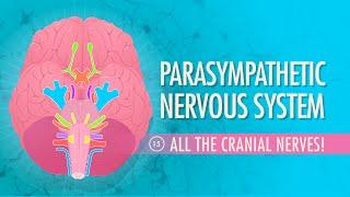 Parasympathetic Nervous System: Crash Course A&P #15