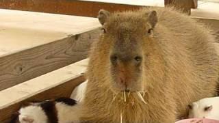 カピバラがモルモットの寝床に乱入!(Capybara break into guinea pig's nest! and...)
