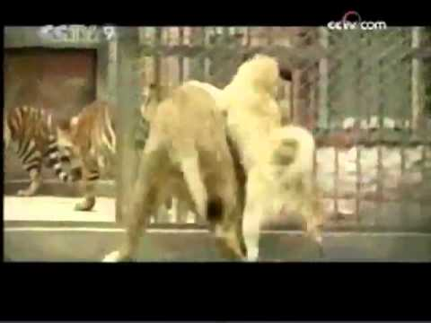Turkish Kangal Attacks Lion 2 2 Youtube Flv Youtube
