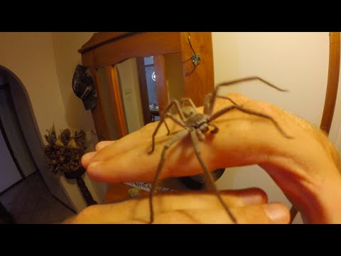 How to handle a Huntsman Spider - by Brennan Hatton