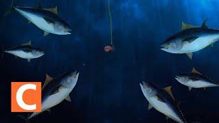 적도 바다에서의 참치잡이 (Fishing for tuna in the equatorial sea)