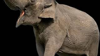 Trumpet Elephant