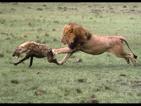 *BIG LION KILL HYENA* ...
