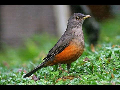 Baixar Sabiá Larangeira Piedade Canto puro para esquentar seu pássaro.