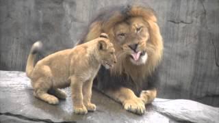 Lion cubs meet dad