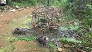 ( Đặt mua hàng web : https://dochoichim.com ) Video Bẩy Chim Bằng Lụp 5 Mặt Đập Của Thế Hào
