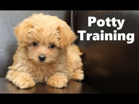 How To Potty Train A Pomapoo Puppy - Pomapoo House Training Tips - Housebreaking Pomapoo Puppies