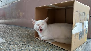White Cat Sleeping in a Box