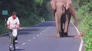 Elephant Chasing Human Animals Revenge Attacking Cars