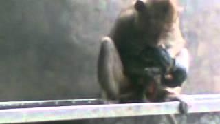 The  Monkey Childbearing 猴子分娩 Khi sinh con