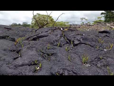 Pahoa 2014 lava flow plant growth