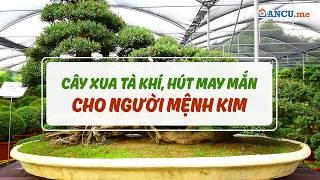 Cây phong thủy cho người mệnh Kim, mệnh Kim hợp trồng cây gì để may mắn, phát tài?