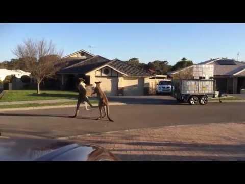 Улична тепачка на австралиски начин: Наместо луѓе се тепаат кенгури