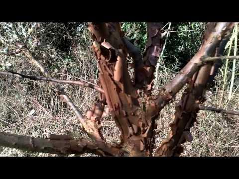 Acer griseum Tree