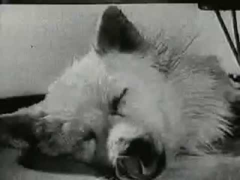 Russian Dog Experiment - Living without a body!