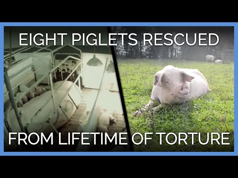 Eight Pigs Rescued After Lifetime of Torture | PETA Animal Rescues