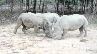 Tê Giác Trắng ở Phú Quốc Safari 22-02-2016