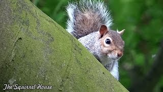 Nervous Squirrel Finally Bags a Walnut