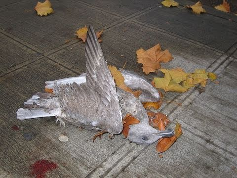 Dead Birds & Fish in Arkansas -- Birds Fall From Sky -- What Is Behind This?