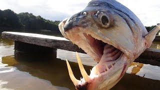 MONSTER VAMPIRE FISH - Amazon River Monsters