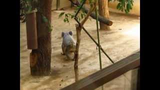 走り回るコアラ