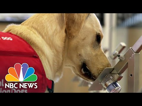 New Effort Hopes To Train Dogs To Sniff Out COVID-19 | NBC Nightly News