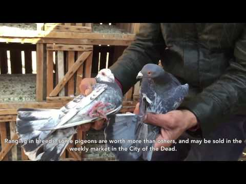 Pigeon Breeding in Mokattam