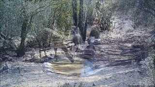 Trail cam video from Tucson, Arizona