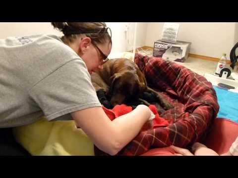 labrador puppy difficult birth, but he's a survivor