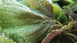 7 tác dụng chữa bệnh của cây tía tô - Da trắng căng mướt, sạch mụn sần nhờ 10 lá tía tô