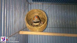 Bird Finches Nest || Nguyên Sách – Tập 55
