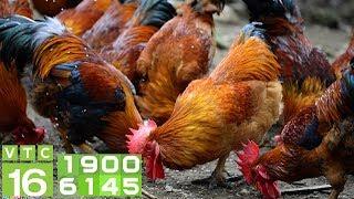 Lai tạo giống gà mía kiếm tiền tỷ mỗi năm | VTC16