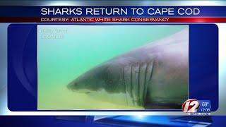 Sharks Return to Cape Cod