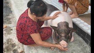 Dì Nga ở Sài Gòn nuôi lợn mập ú 100 kg làm thú cưng, nhất quyết không bán dù được trả 8 triệu