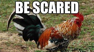 When Chickens Attack!!! 2018