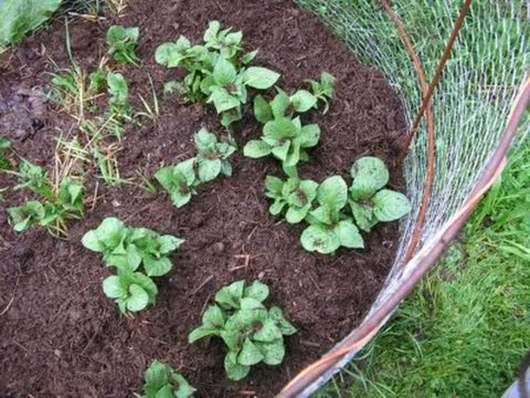 Growing Food Grow Above Ground Potatoes In A Potato Basket