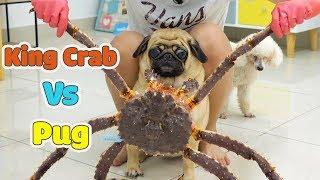 Đại Chiến Giữa Cua Hoàng Đế Và Thộn Lộn Xộn - King Crab Vs Pug